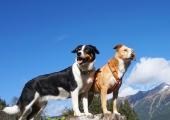 Hunde-in-den-Bergen