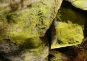Flechten | Chrysotrix chlorina (c) Fritz Gruber