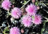 Ackerdistel | Cirsium arvense (c) Fritz Gruber