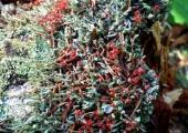 Flechten | Cladonia macilenta (c) Fritz Gruber