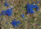 Frühlings-Enzian | gentiana verna (c) Fritz Gruber