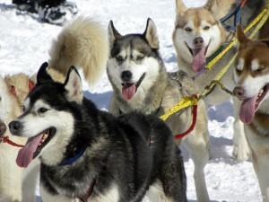 Hundeschlittenrennen in Sportgastein